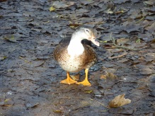 This is a duck known as a '57' ... when I googled this - I came across duck on a few Thai menus.